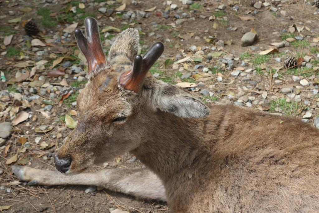 nara giappone cervo