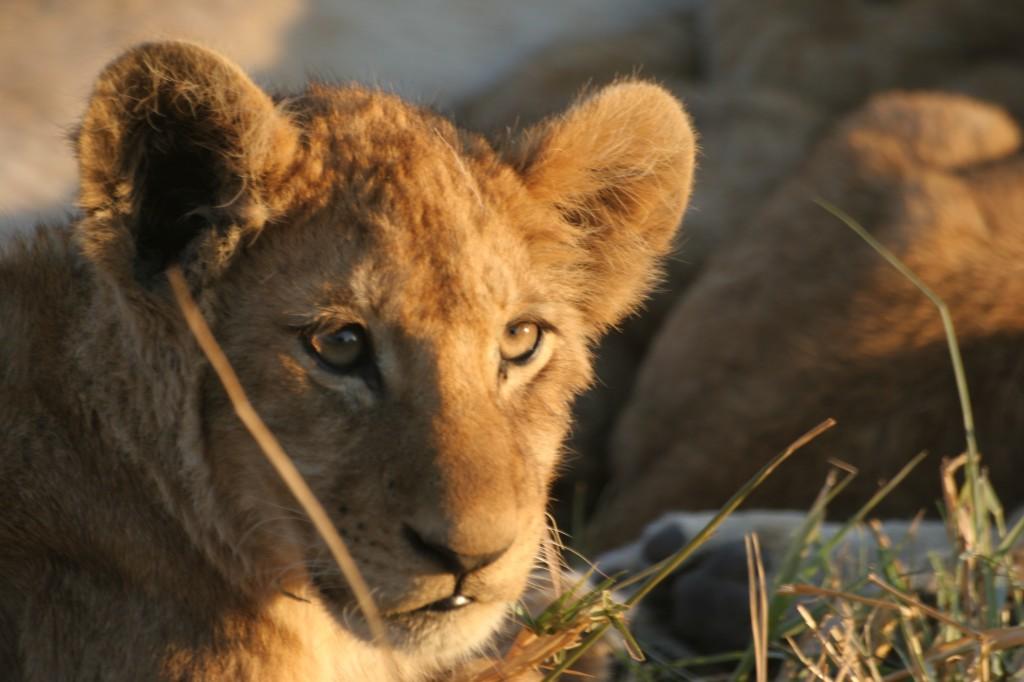 moremi g.r. - quarto safari - leoni - camilla (26)