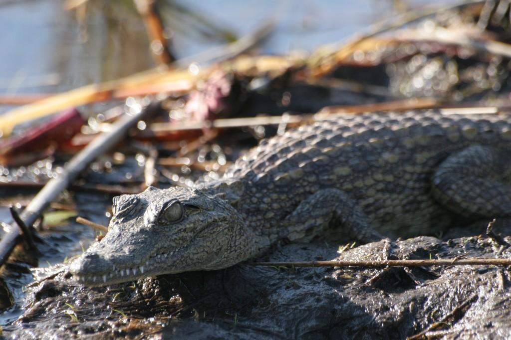 safari in barca - coccodrillo - camilla (7)