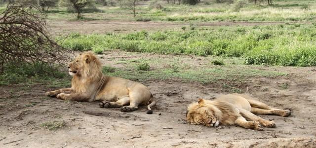 Il fantastico spettacolo della grande migrazione in Tanzania