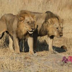 5 buoni motivi per visitare il Parco Nazionale di Ruaha in Tanzania
