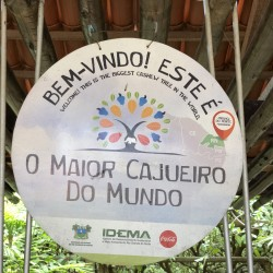 L'albero di anacardi più grande del mondo a Pirangi do Norte in Brasile