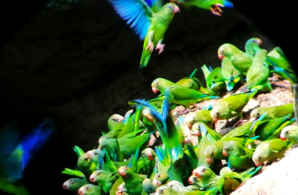Yasunì pappagalli