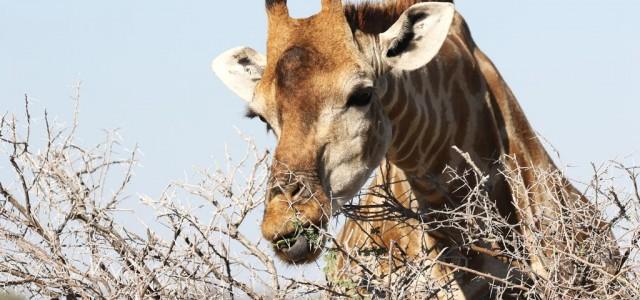 21 giugno: Giornata Mondiale della Giraffa